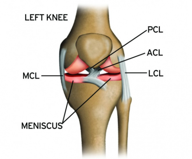 Anatomy and gender disparity of acl injuries maximum potential knee knee anatomy acl pcl lcl mcl anterior crusiate ligament ccuart
